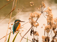 King Fisher. Beata Cosgrove Photography